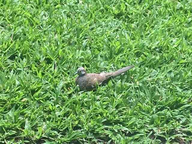 ホテルの中庭の芝生の上で鳥たちが遊んでしました。まるで置物のよう。