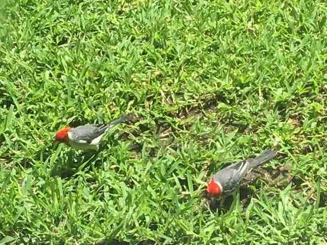 ホテルの中庭の芝生の上で遊んでいる綺麗な鳥の番い