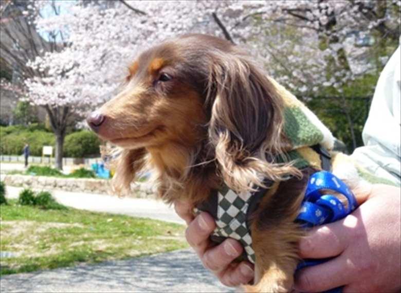 2012年4月お預かりさんとお花見